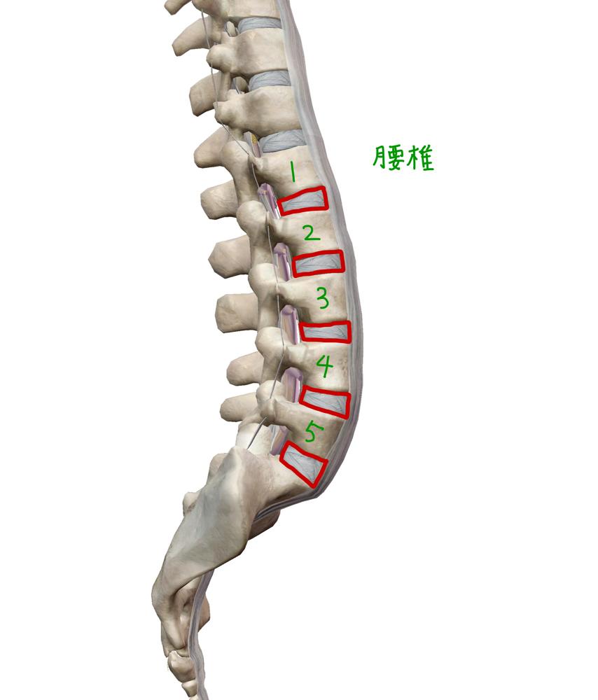 腰椎 関節