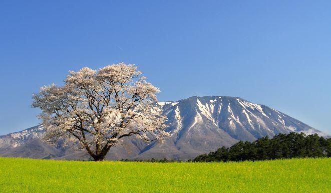 小岩井一本桜と岩手山の写真