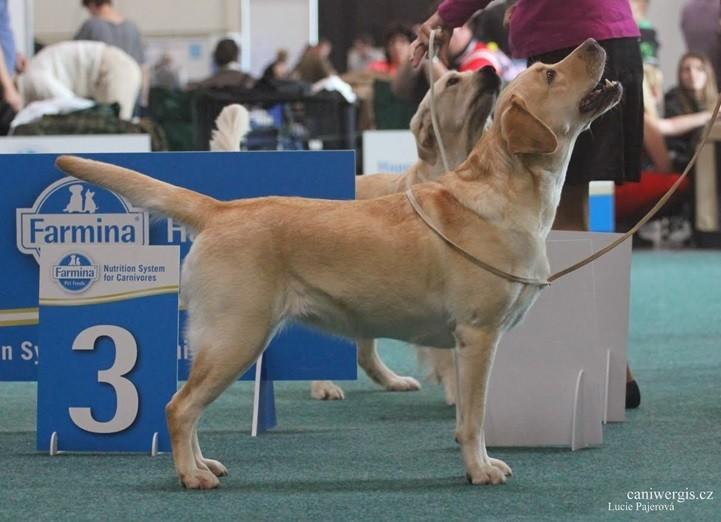 Labrador Retriever Casey Show in Bratislava