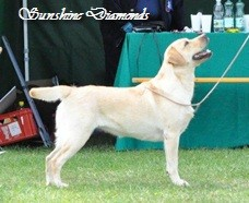 Labrador Retriever Hündin: Crystal Spirit Delicious Sunshine