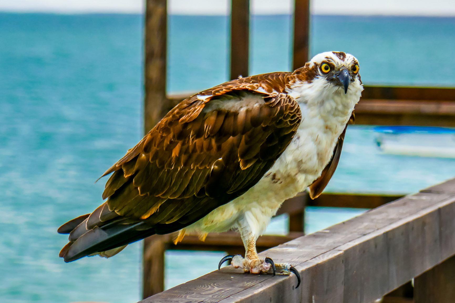 Fischadler Ojo de Liebre