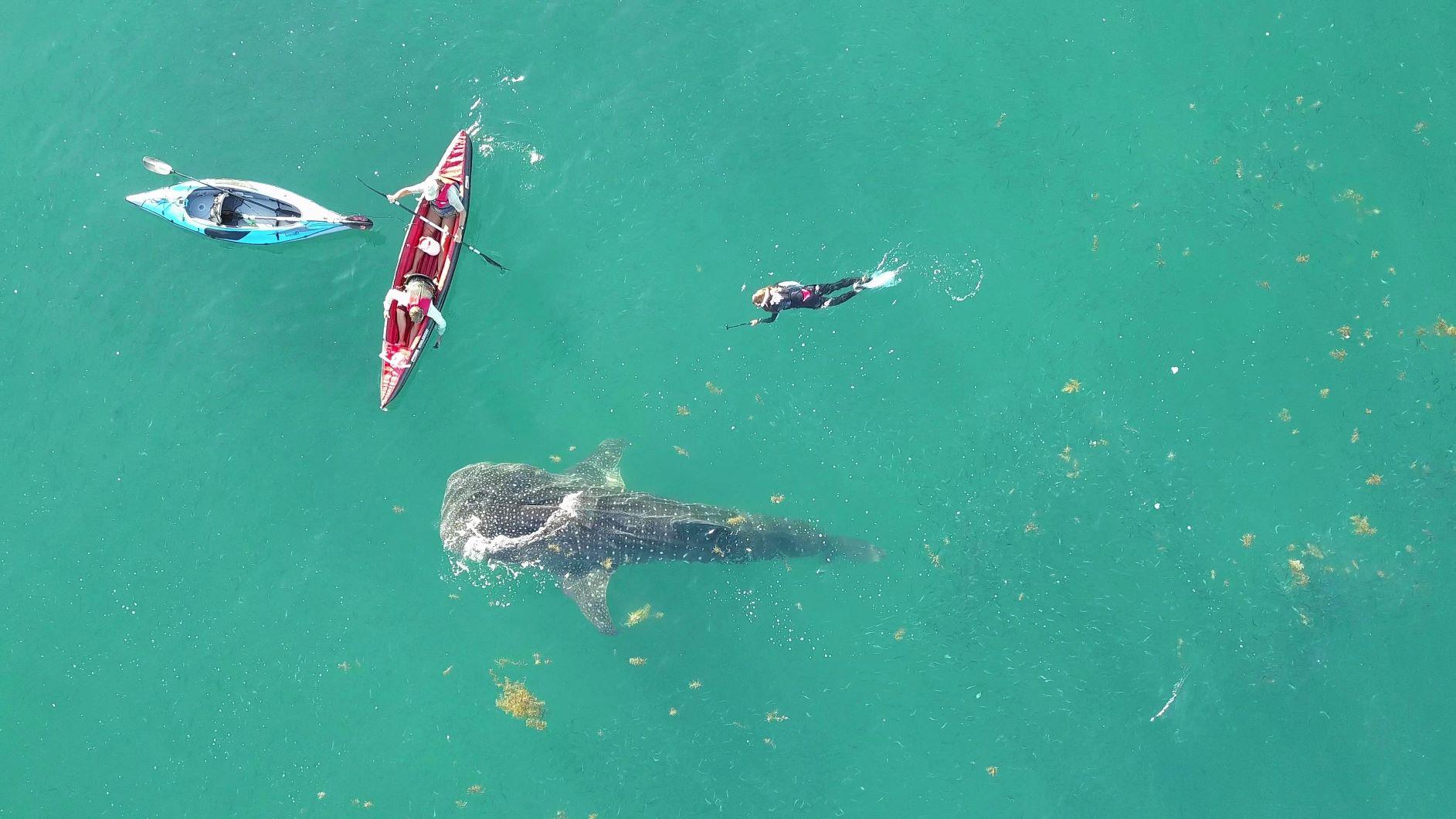 Walhai schnorcheln bei Mogote