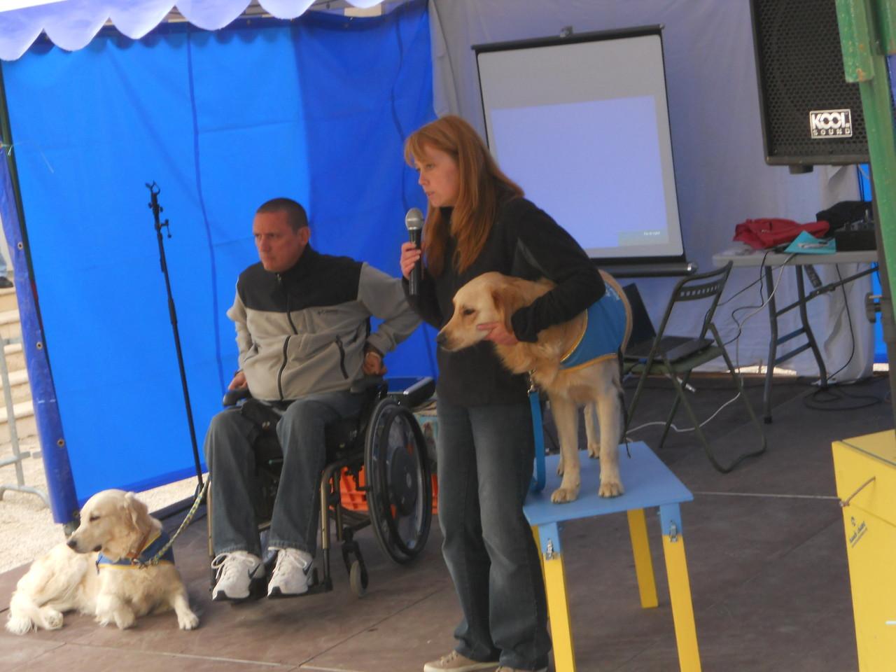 """Field, futur chien d'assistance en position""""monte"""" pour être à hauteur d'une personne en fauteuil"""