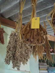 "Ragi and Sorgo, seed bank ""Green Foundation"""