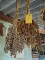"Ragi and Sorgo, seed bank ""Green Foundation"""