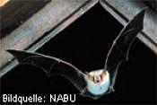 Großes Mausohr (Foto: NABU)