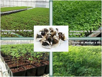 Procesos de crecimiento de la moringa oleifera