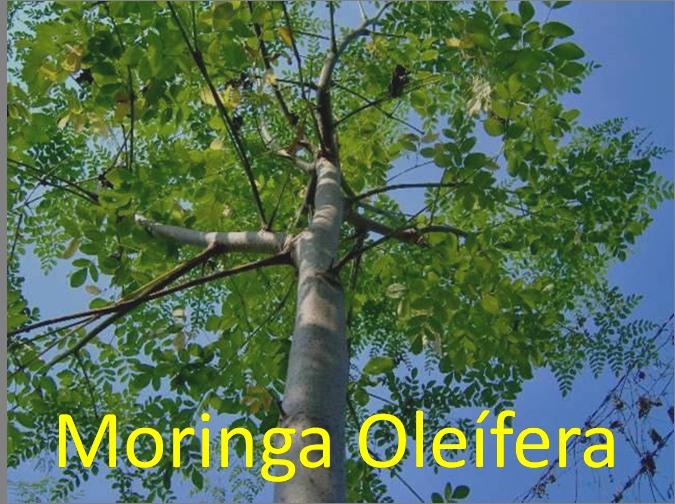 Árbol de Moringa Oleifera
