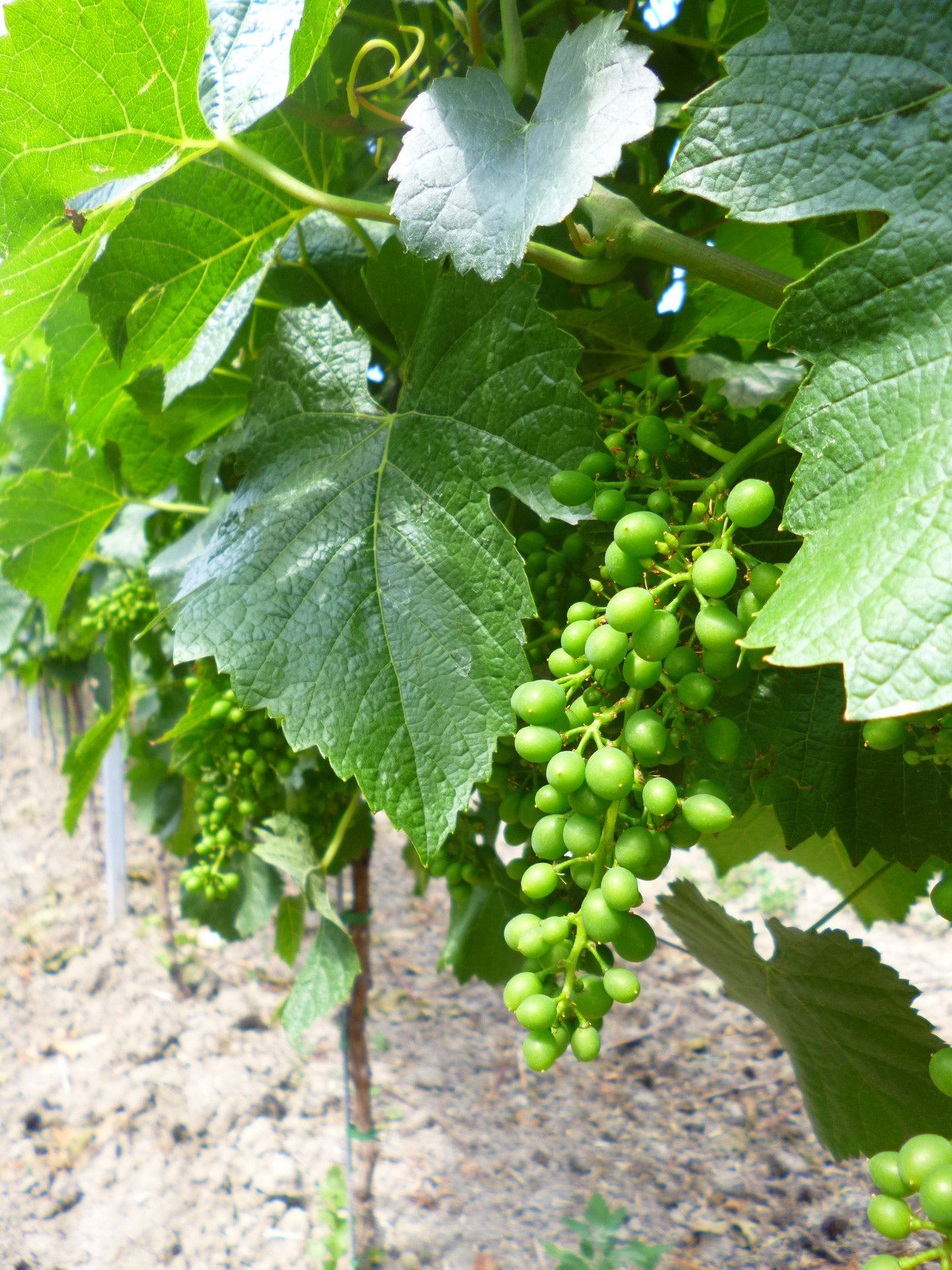Schrotkorngröße der wachsenden Trauben