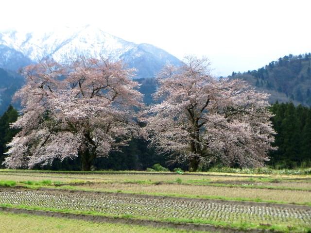 200410黒岩の夫婦桜