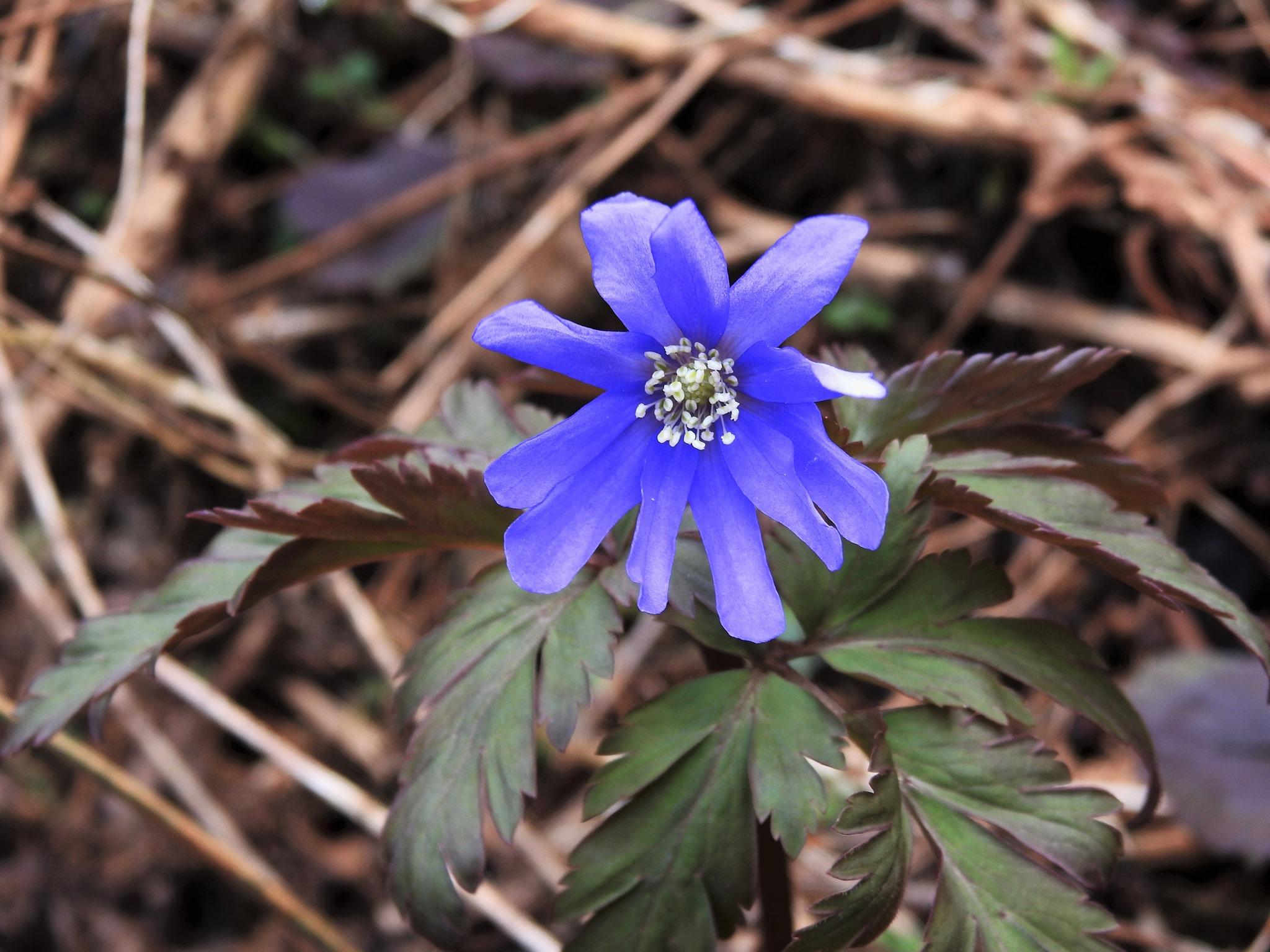 ☆一つだけ濃紺色に咲いていました