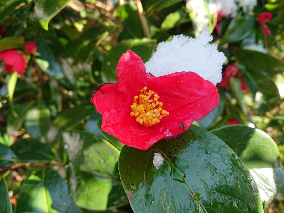 200324角神雪椿園002