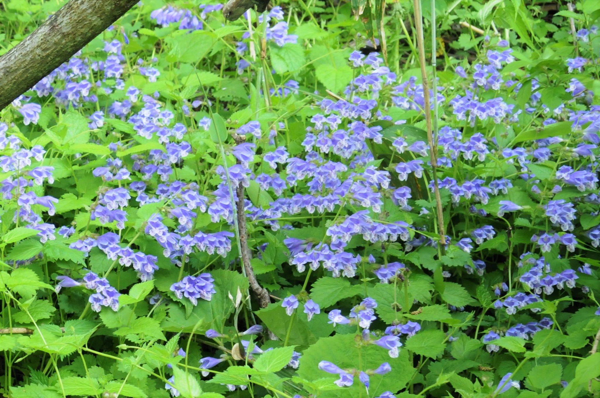 200508ラショウモンカズラ(濃青色で袋状が特徴)