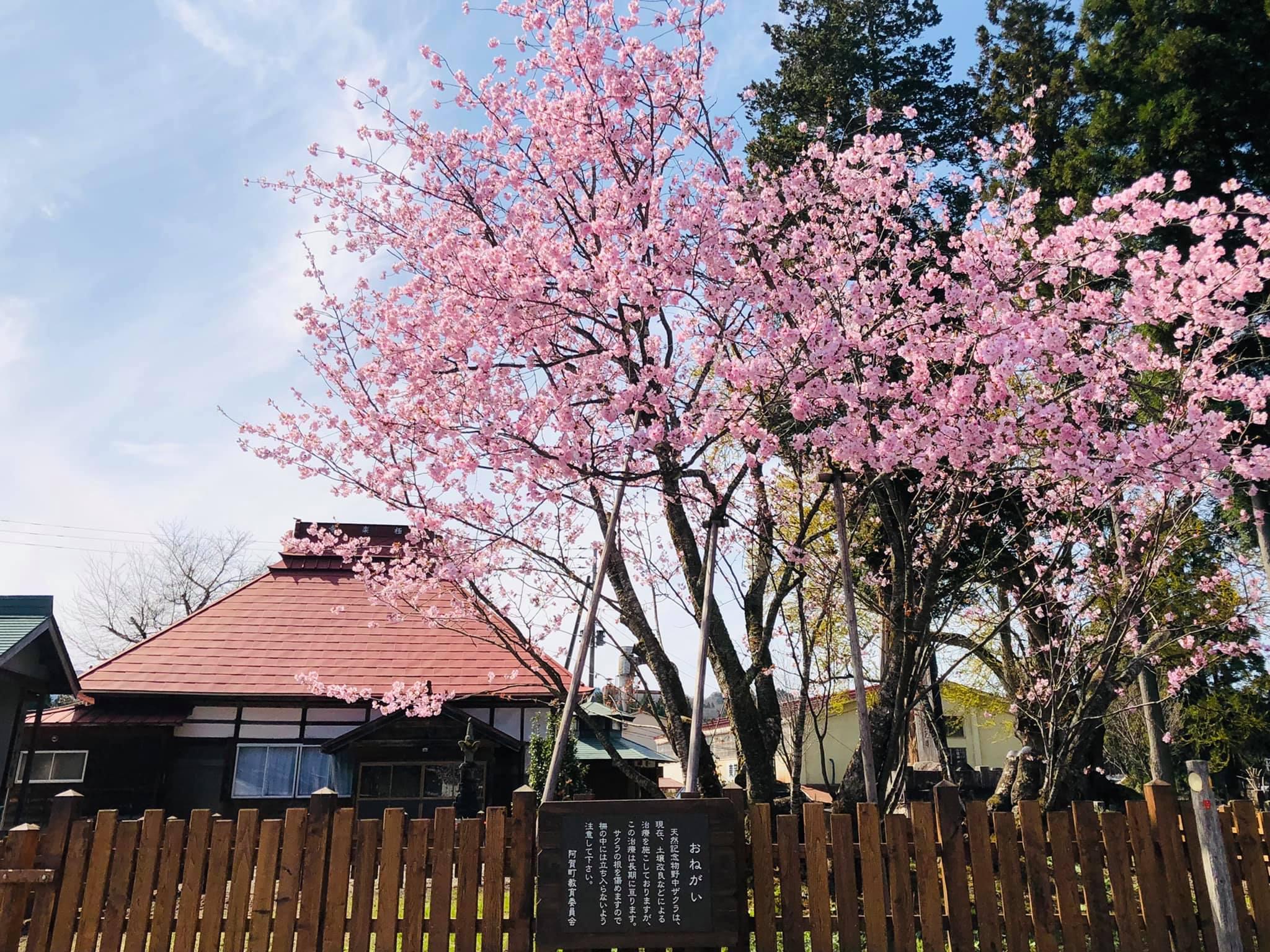 210406野中桜001