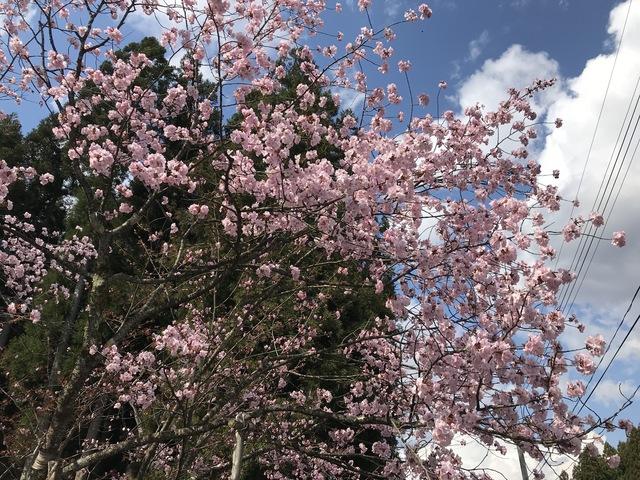 200409極楽寺の野中ザクラ001(南側の枝)