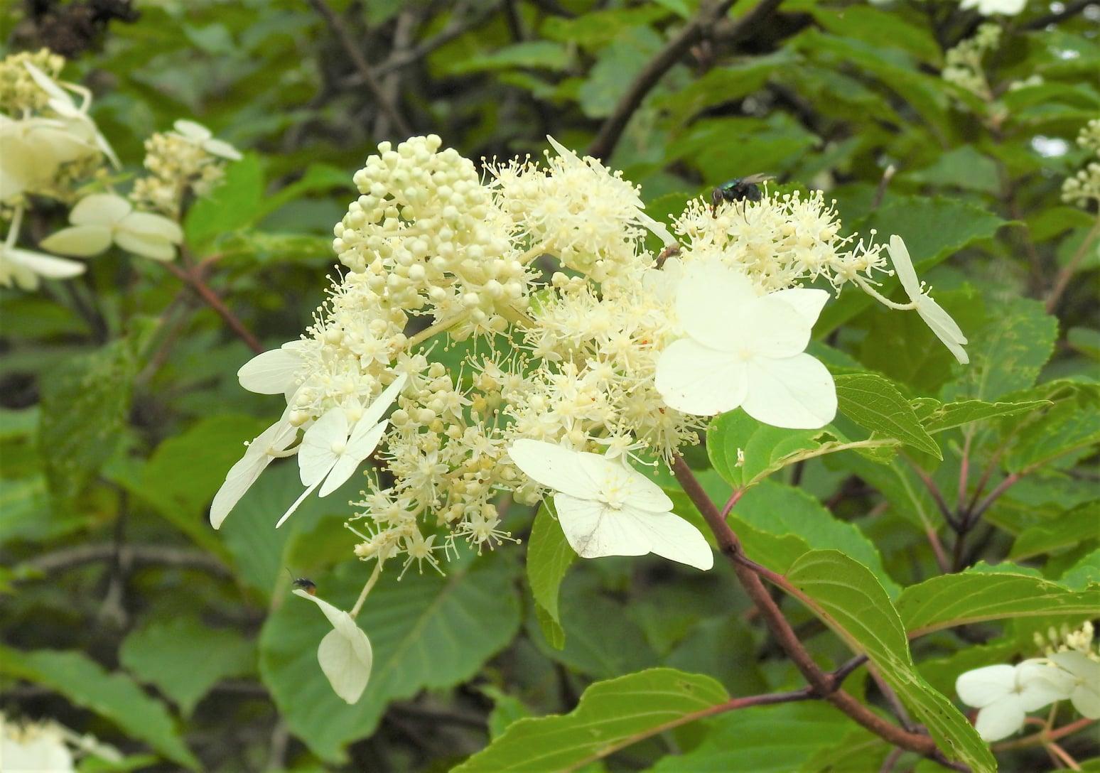 ☆ノリウツギ(乳白色が目立つ花)