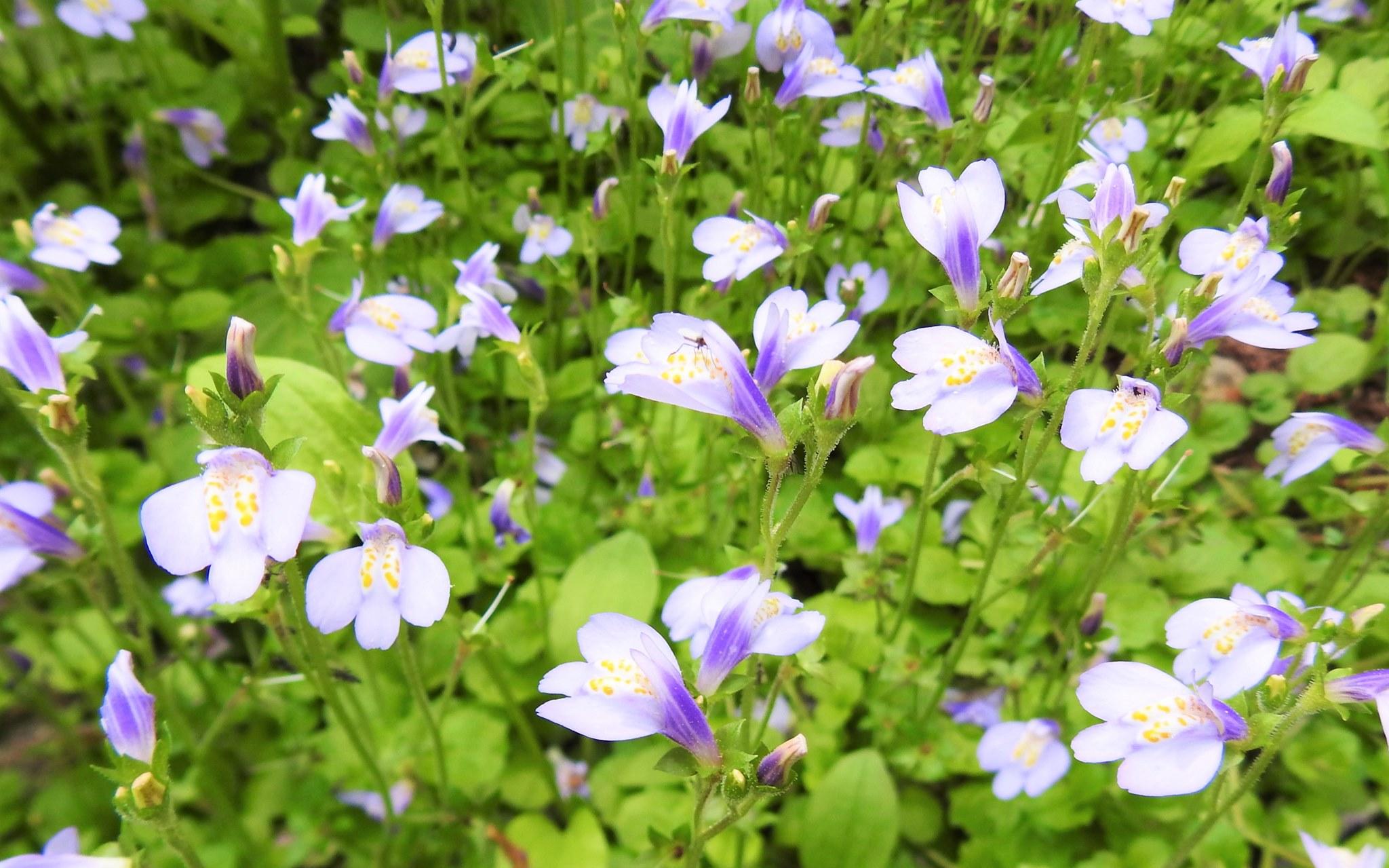 200508ムラサキサギゴケ(絨毯を広げたように咲く花)