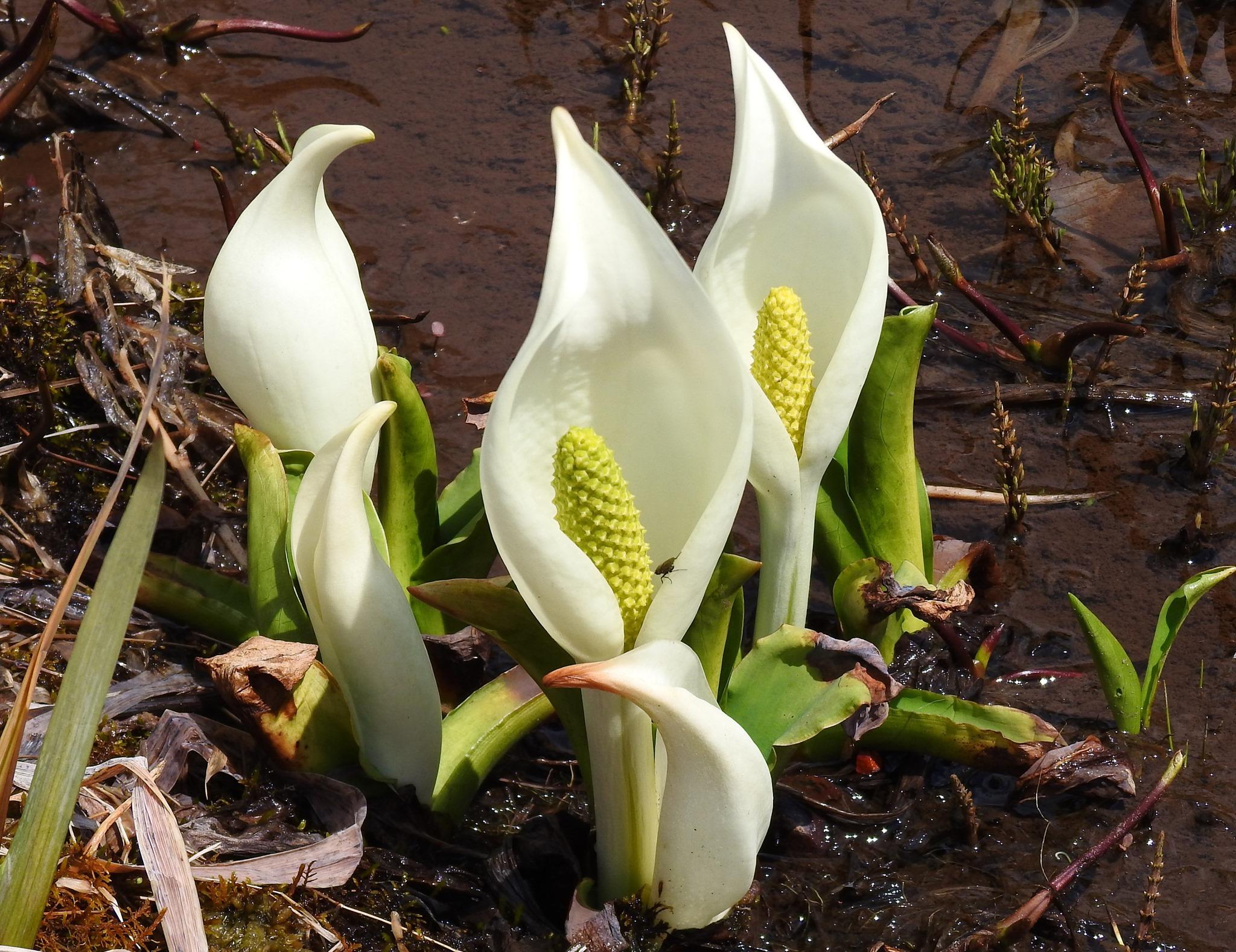 白い清楚な花(苞)