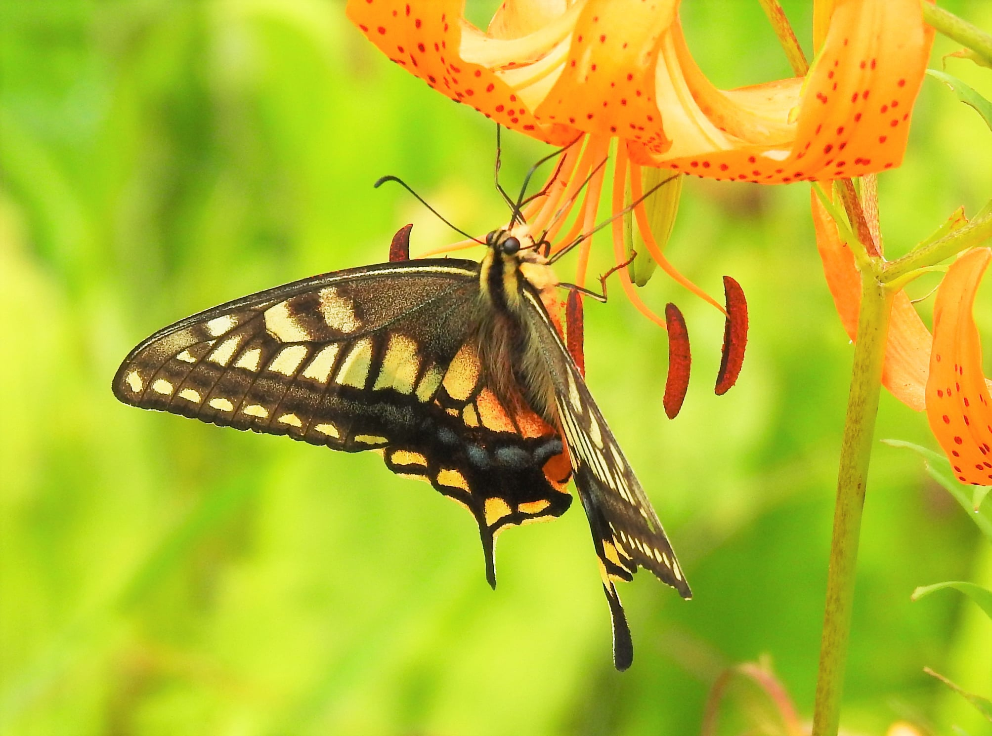 キアゲハも飛来 ・大型のチョウ 湿原ではよく目につきます。