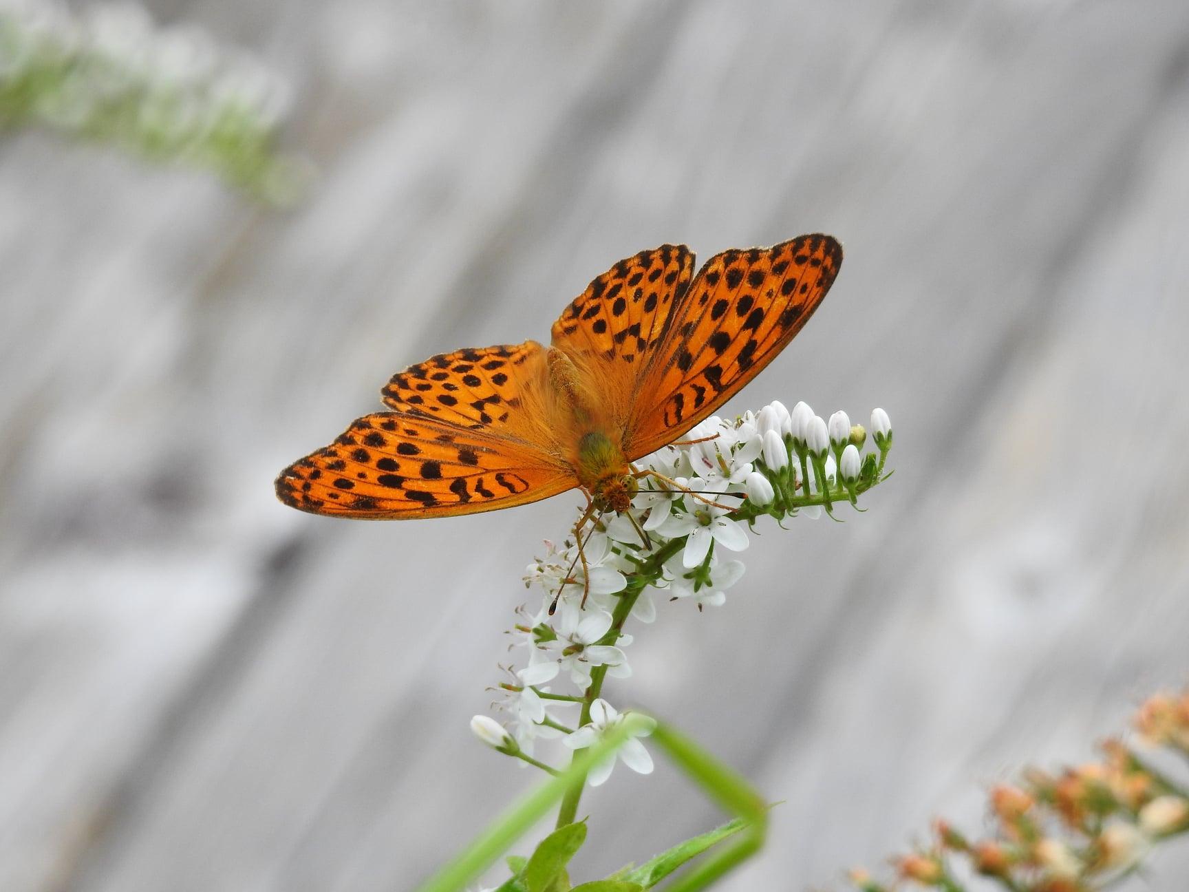 ☆ウラギンヒョウモン ・オカトラノオの花に飛来