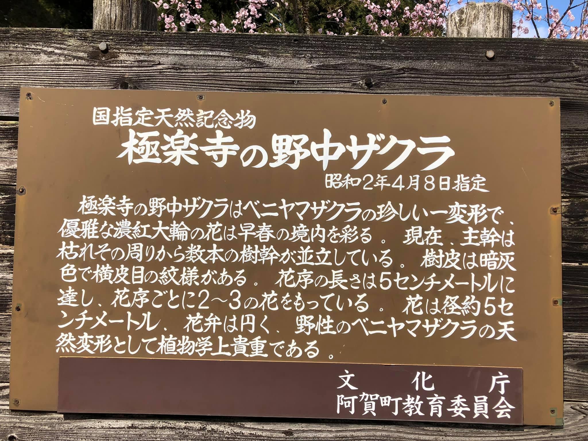 200411極楽寺の野中ザクラ003