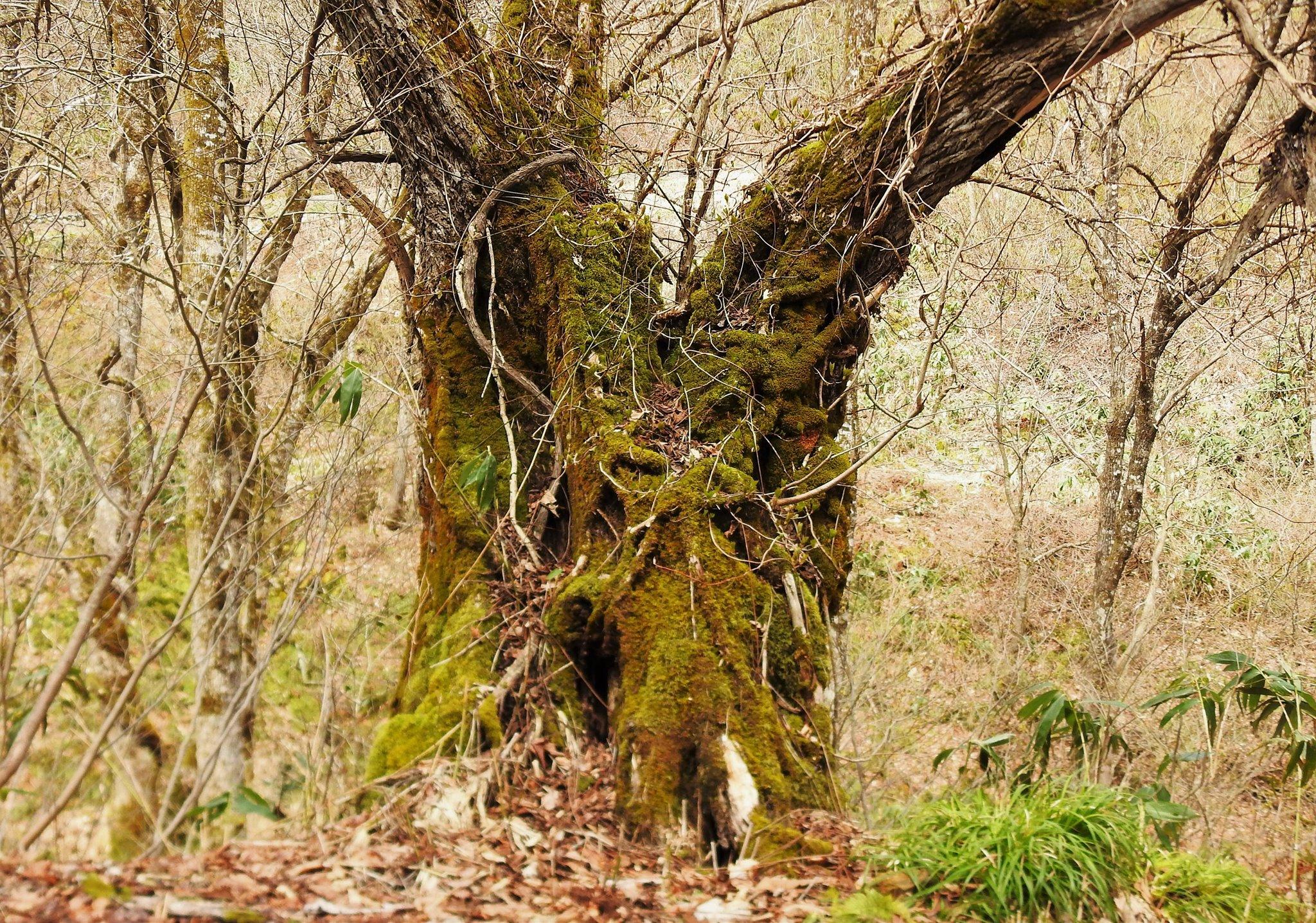 ☆源流部にある巨木(オニグルミ)