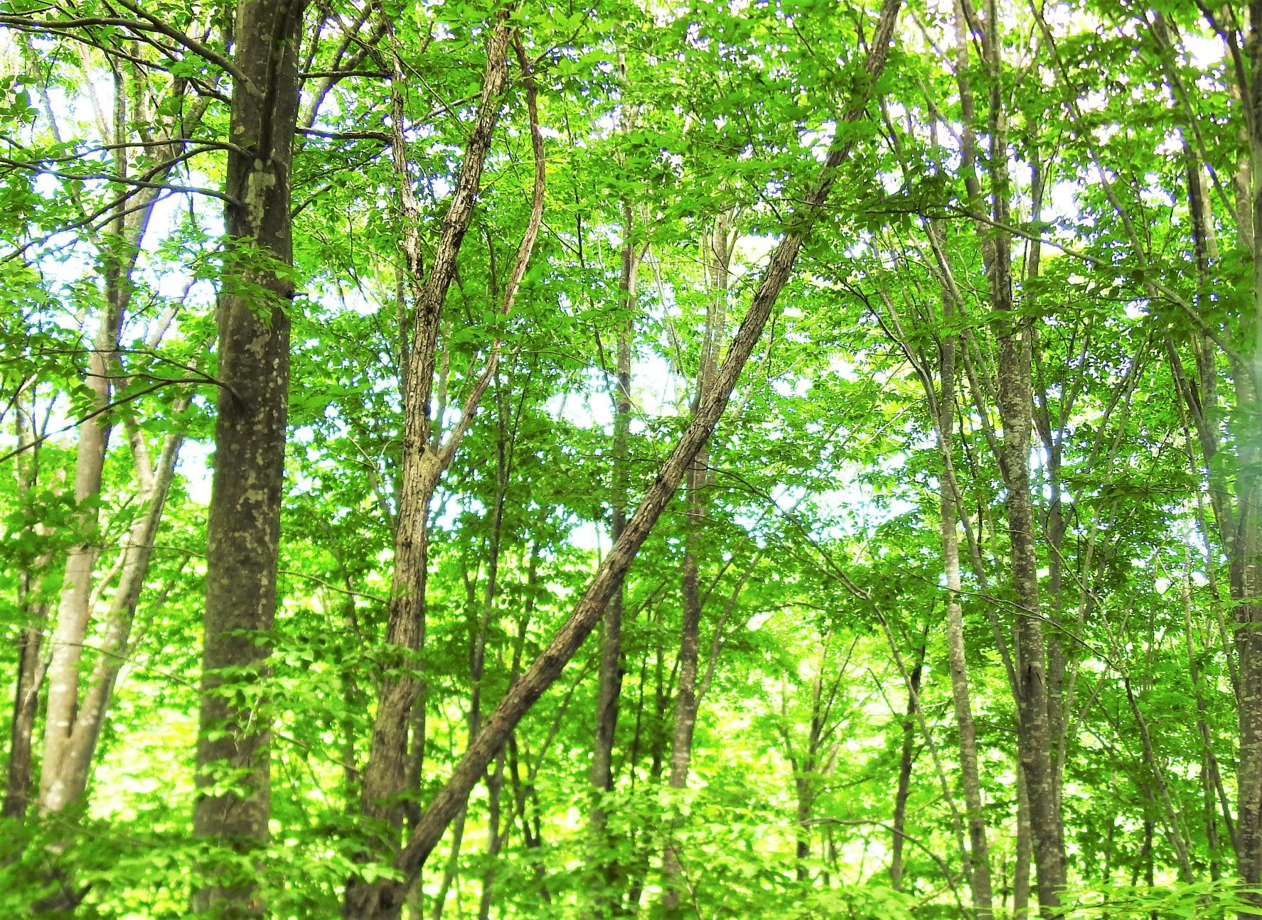 ブナとミズナラの森