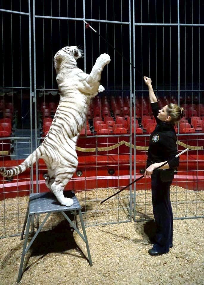 Das Aufrichten am Manegenkäfig zeigt, wie schön und groß meine Tigermaus ist.