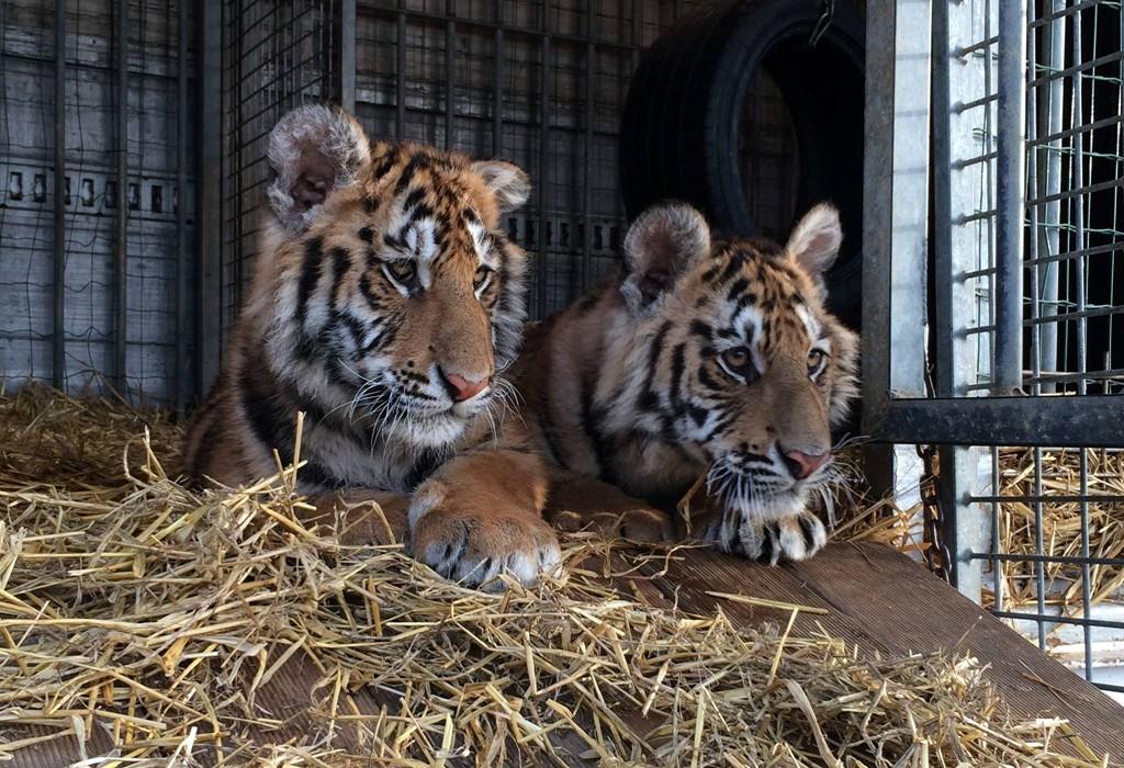 ...Und meiner zwei Tigerbrüder Orlando und Kalif...
