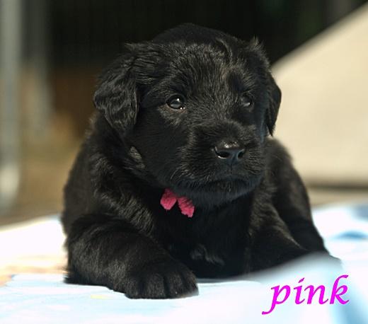 Hündin pink 3,5 Wochen alt