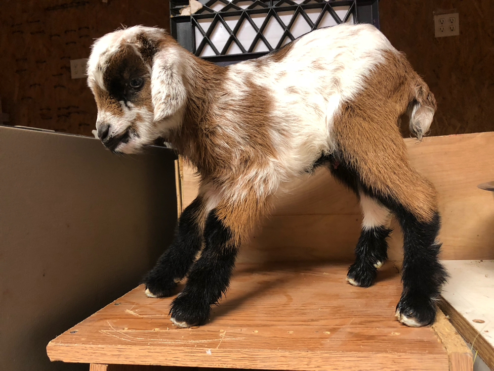 NC Nigerian Dwarf Dairy Goats