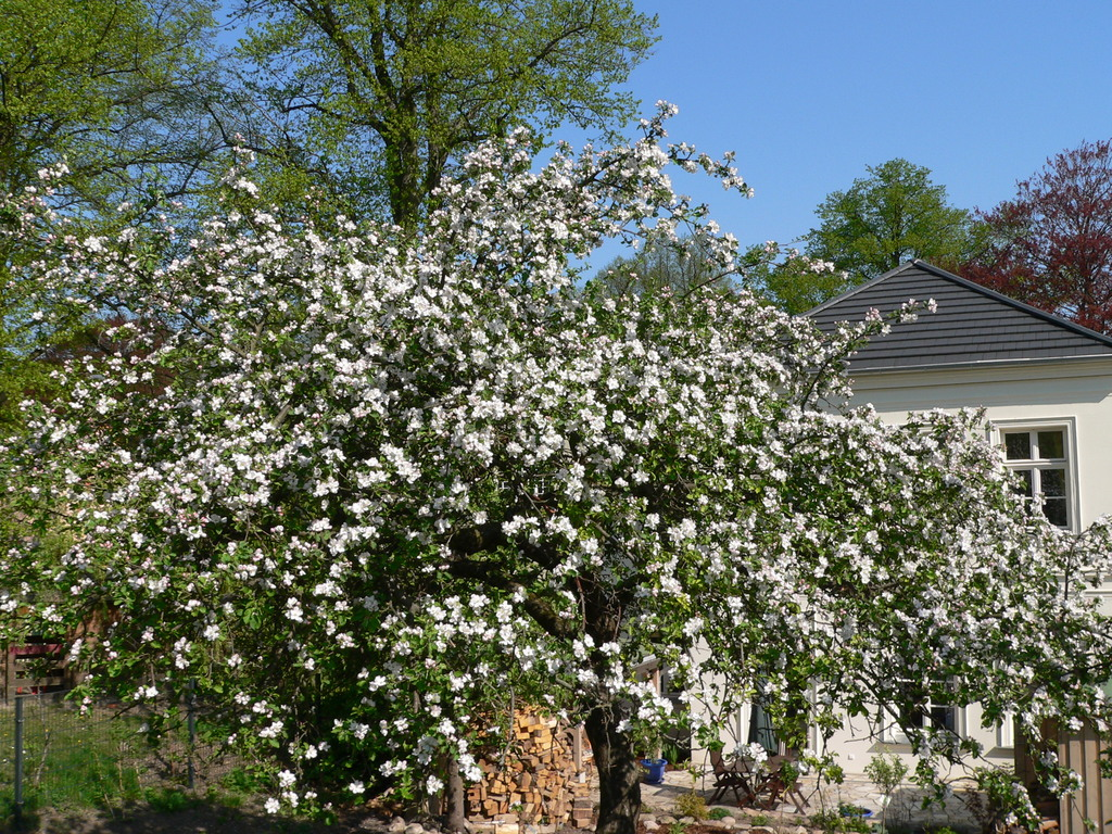Blick vom Garten auf die Terrasse ( Der blühende Apfelbaum im Mai )