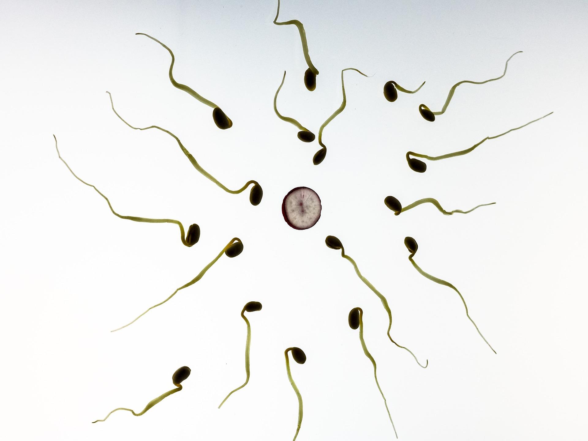 Wie lange überleben spermien nach vasektomie