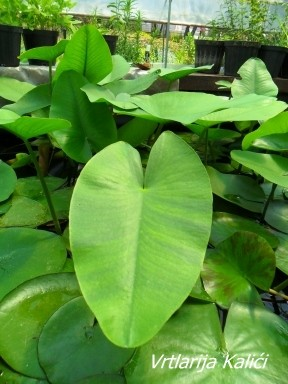 Nuphar sagittifolia
