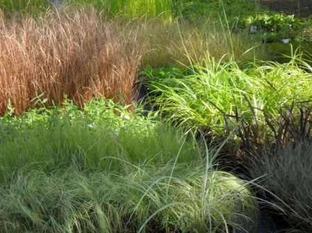 Ukrasne trave iz našeg asortimana