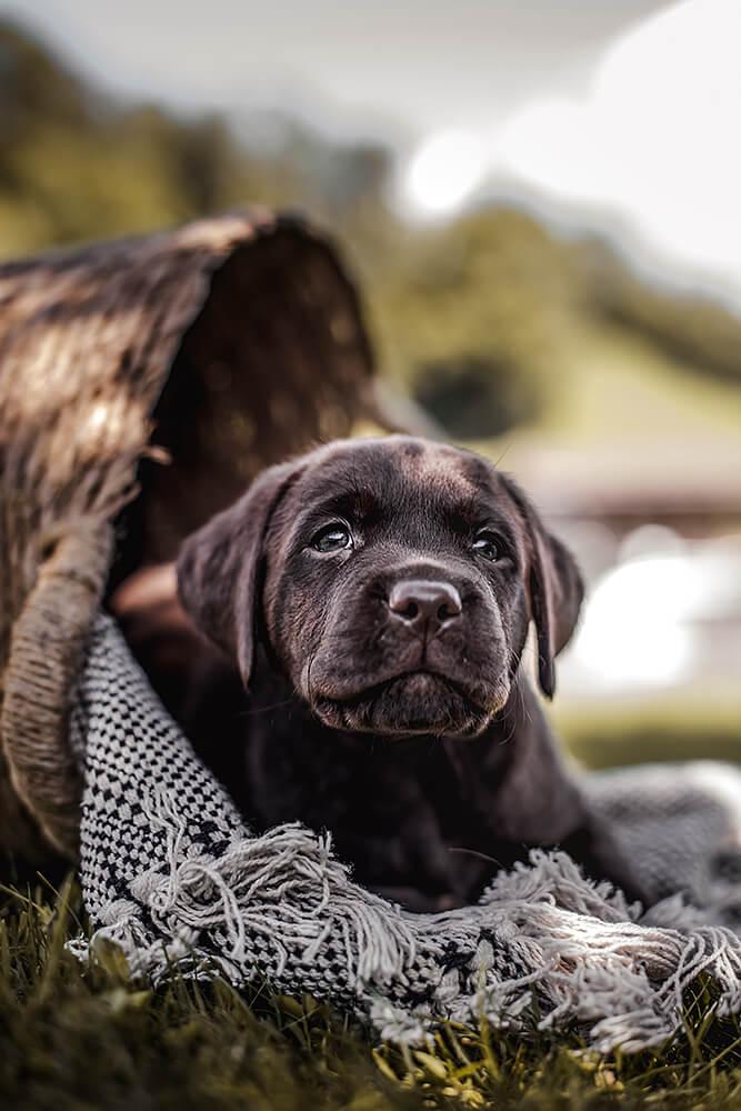 Brauner Schoko Labrador Welpe schaut aus einem Körbchen mit einer Decke festgehalten von der Hundefotografin Monkeyjolie in der Ostschweiz