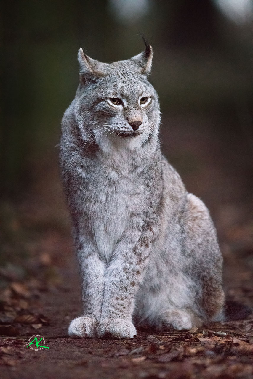 Luchs im Wildpark Poing - Sony Alpha 99 Mark-II & Sony SAL500F4G  - Blende 4  -  1/400s.  -  ISO 25.600