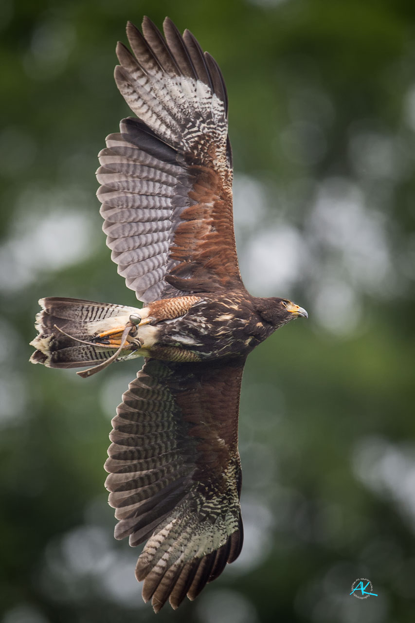 Harris Hawk im Flug, Nikon D4s & Sigma 500mm  |  Blende 4,5  |  1/4000s.  |  ISO 800