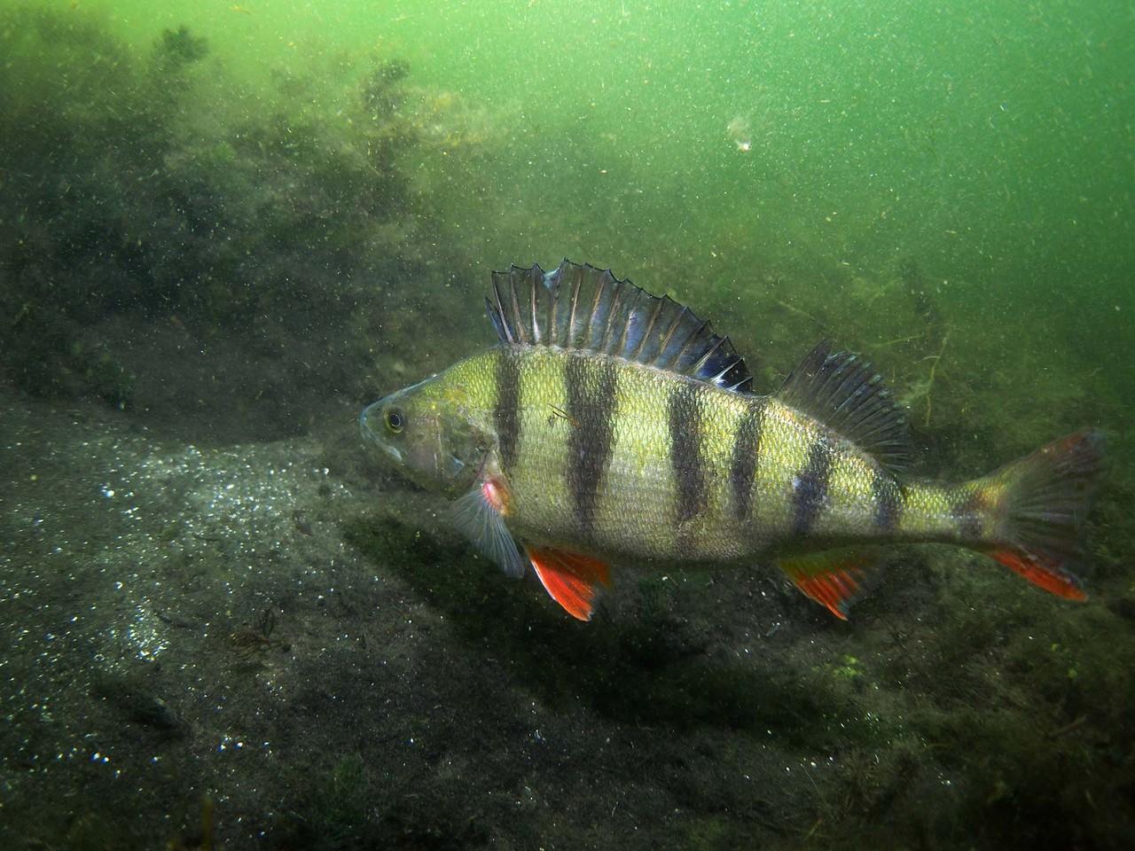 Barsch, ca. 25 cm