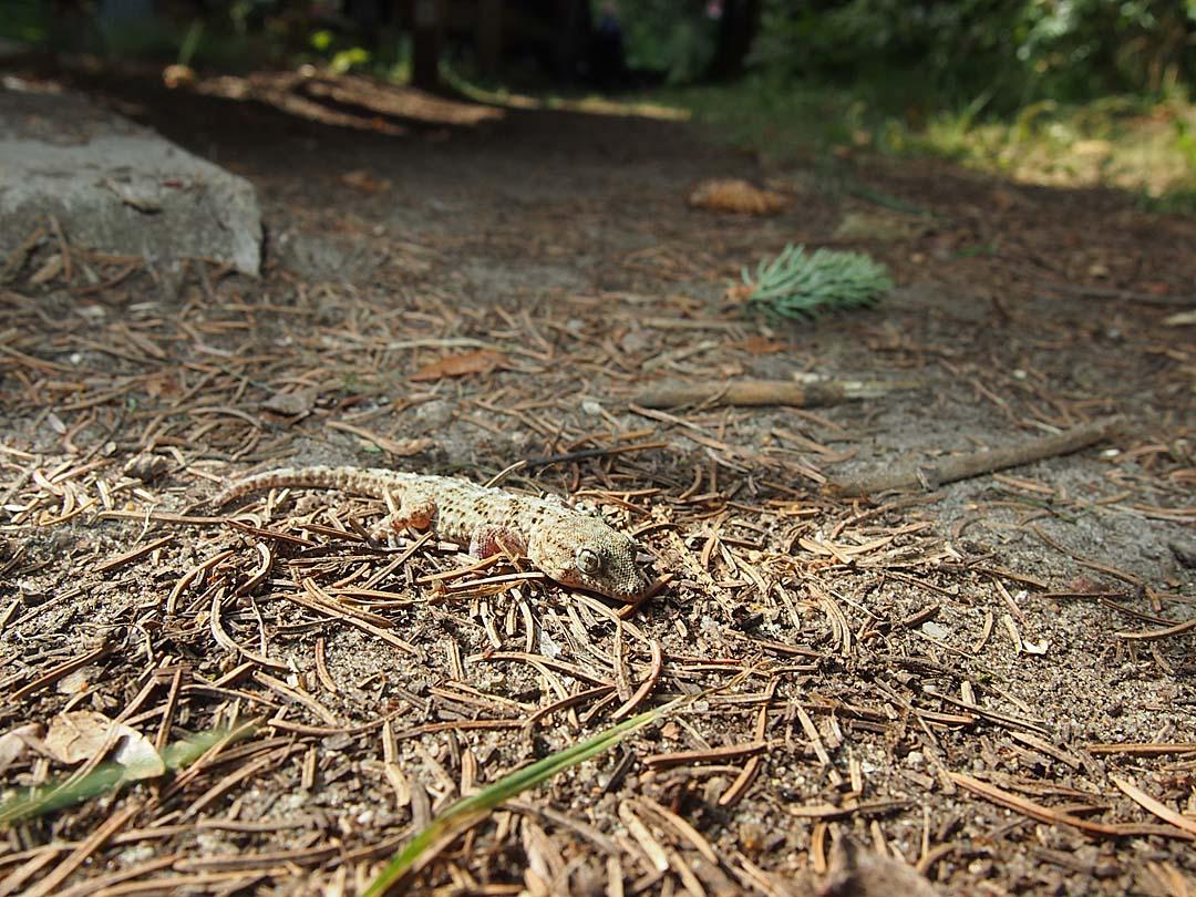 Gecko (vermutlich in der tauchtasche von Christof aus Teneriffa mitgereist)