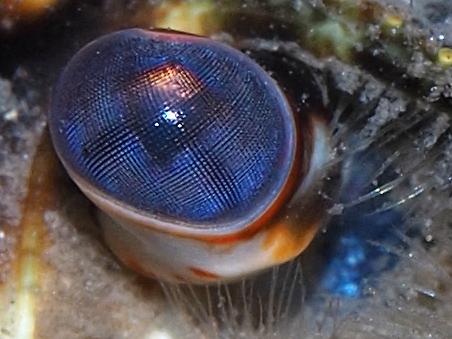 Auge vom Galizischen Sumpfkrebs (Astacus leptodactylus)