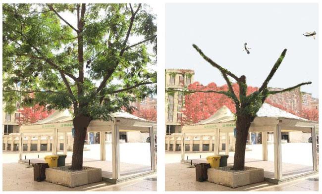 Foto: Ipcena / Foto real de l'arbre i un retoc informàtic per veure com podria quedar un cop esporgatnomés 2,5 metres.