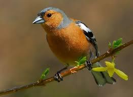 Consideren molt greu el decret llei que regula la captura d'ocells fringíl·lids