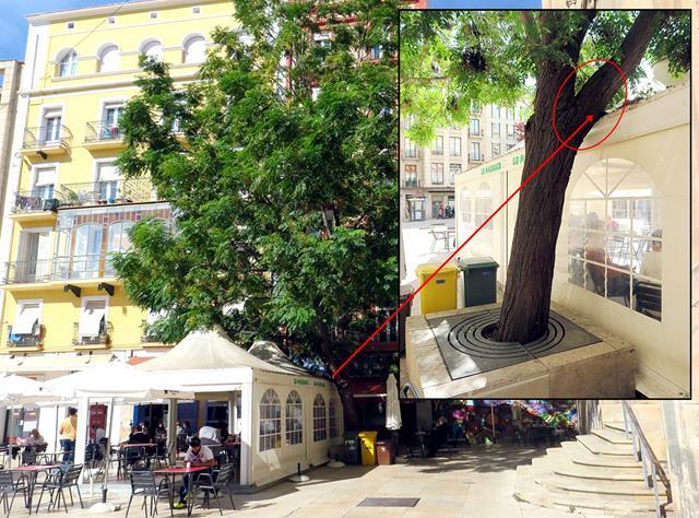 Els ecologistes s'oposen a que la Paeria tali avui l'arbre inclinat de la plaça Sant Joan