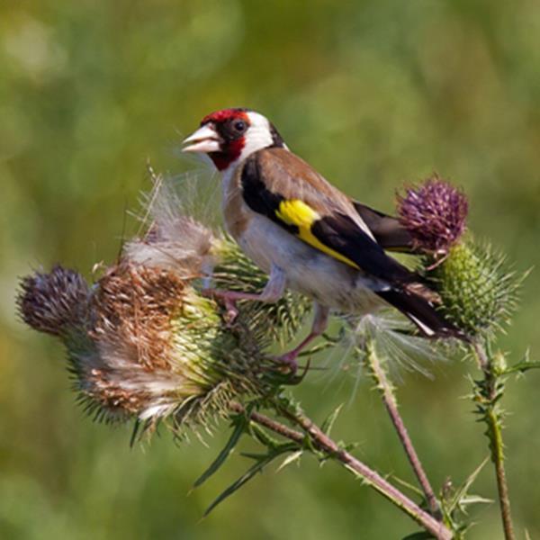 Catalunya prohibeix la caça d'ocells fringíl·lids com a conseqüència del suposat delicte de prevaricació per part de la ex directora general de Medi Natural