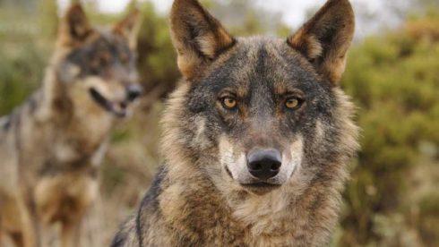 IPCENA s'ha adherit a la campanya d'adhesions d'ONGs per donar  suport al Ministeri de Transició Ecològica a la iniciativa de declarar espècie protegida al llop