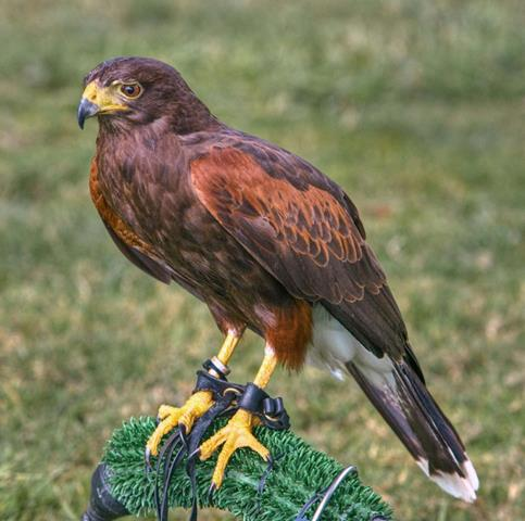 IPCENA Demana la prohibició de la falconeria