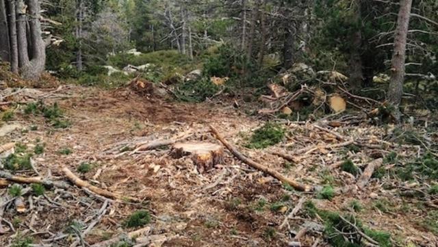Una dotzena d'entitats ecologistes denuncien una tala de bosc a Ger de Cerdanya