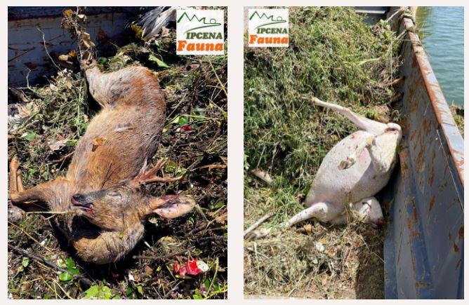 COMUNICAT DE PREMSA: El Canal d'Urgell una amenaça diària que segueix provocant morts a centenars d'espècies de la fauna.