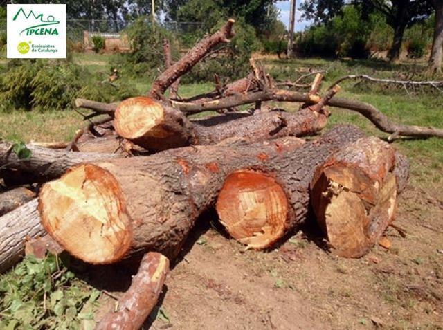 IPCENA denuncia que la Paeria de Lleida a tallat avui arbres al parc de les Basses injustificadament